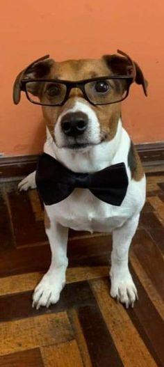Jack Russell Terrier, Pitbulls, Dogs, Animals, Animales, Animaux, Doggies, Pitt Bulls, Pit Bulls