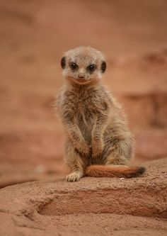 Three Meerkat pups recently made their first public appearances at Chester Zoo. Born on January 28, the terrific trio had been kept out of sight by their mum, and the rest of the Meerkat mob, until they were ready to emerge from their underground burrow.