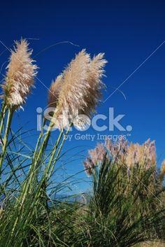 'Toitoi' or 'Toetoe' Grass Royalty Free Stock Photo Image Now, Grass, Royalty Free Stock Photos, Flowers, Plants, Photography, Beautiful, Photograph, Grasses