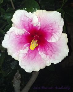Saw this pink & white hibiscus walking back to the hotel one evening. Waikiki.