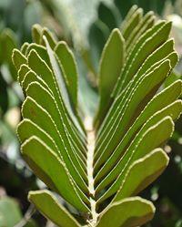 Fatsia aralia japonica castor oil plant plant love for Planta ornamental zamia