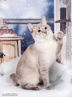 Similar to wild cats, the American Bobtail cat has a unique and wild appearance but they are extremely intelligent and loving cat breeds. Kitten Love, Cat Love, American Bobtail Cat, Japanese Bobtail, American Curl, Unique Cats, Abyssinian, Cats And Kittens, Kitty Cats