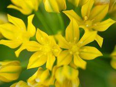 Allium Moly (Lily Leek)