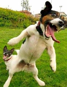 Jack Russell Terrorists?  Lol mine makes that face!