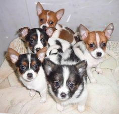 Toy Foxillon Dog Breed Information and Pictures