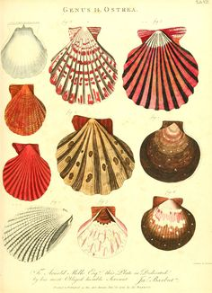 #shells print Art And Illustration, Illustrations, Art Plage, Ouvrages D'art, Seashell Art, Starfish, Nautical Art, Nautical Prints, Art Mural