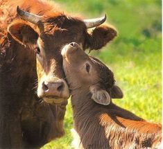 These 20 Adorable Pictures Prove That Cows Are The Cutest Animals Around Cute Baby Cow, Baby Cows, Cute Cows, Cute Baby Animals, Farm Animals, Animals And Pets, Baby Elephants, Wild Animals, Cow Pictures