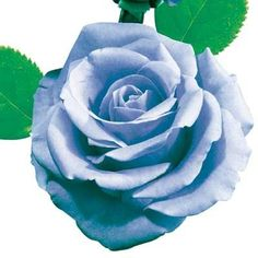 Blue Moon Rose - Direct Gardening. Such an incredible silvery lavender-blue rose (this image has been altered), it seems unreal! You'll love the enduring beauty of this top choice rose. The Blue Moon Rose produces magnificent displays of spectacular blooms year after year. Exotic buds and huge fragrant lavender blue bloom.