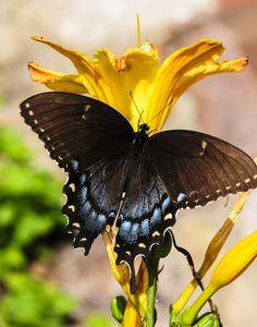 https://flic.kr/p/A6qjJx | Spicebush Swallowtail | A beautiful Spicebush Swallowtail captured on the Blue Ridge Mountains of Virginia.
