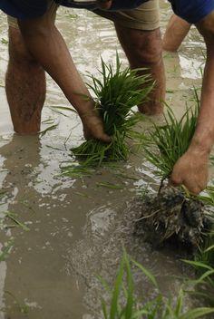 Han de netejar bé les arrels de fang, així les garbes pesaran menys i serà més fàcil transportar-les. Plantar