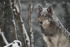 Image detail for -Russ Morgan, the Oregon Department of Fish and Wildlife's wolf coordinator, will discuss the return of wolves to their historic range in Northeastern Oregon and a . Wolf Images, Wolf Photos, Wolf Pictures, Beautiful Wolves, Animals Beautiful, Nevada, Husky, Wolf Range, Snow Wolf