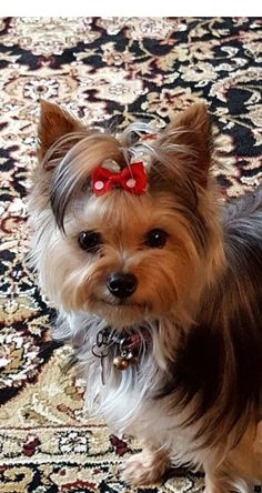 The Popular Pet and Lap Dog: Yorkshire Terrier - Champion Dogs Yorkies, Yorky Terrier, Cute Puppies, Cute Dogs, Tattoo L, Yorkie Haircuts, Top Dog Breeds, Rottweiler Puppies, Poodle Puppies