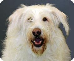 Irish Wolfhound Golden Retriever Mix Google Search Doggy Love Goldens Doodles Wolfhounds