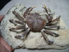 Large Fossil Crab with Legs Name: Galene granulifera Age: Pliocene - 5 million yrs Formation: Cholau Location: Hsinchu-Hsien, Taiwan