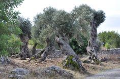 Oliveres de Mallorca