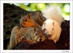 Albino squirrel found living on the campus of the University of North Texas  <3