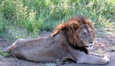 Lion in Kruger National Park, South Africa with Nomad Adventure Tours.