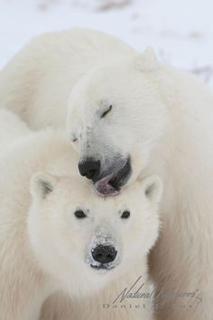 Polar Bear mother licking her cub on the top of its head. Churchill, Manitoba, Canada