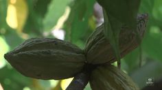 CacaoCollective on Vimeo