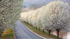 Bradford Pear Trees via Katherine Field Landscape Flowering Pear Tree, Dogwood Trees, Pear Trees, Trees And Shrubs, Bradford Pear Tree, Grande Route, Tree Lined Driveway, Street Trees, Pyrus