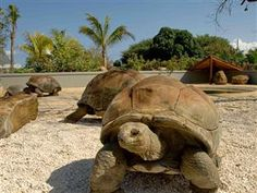 There were giant tortoises everywhere! Sulcata Tortoise, Giant Tortoise, Mauritius Honeymoon, Tortoises, Around The Worlds, In This Moment, Travel, Paradise, Sunshine