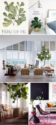 Best of 2013: {Fiddle Leaf Fig Tree} - Apartment 34