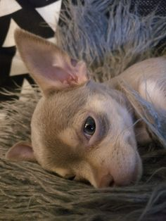 My beautiful Chihuahua, Daisy May. #Chihuahua