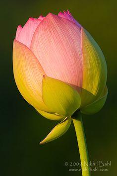 Самые красивые фотографии цветов от Nikhil Bahl