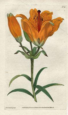 tiger lily botanical