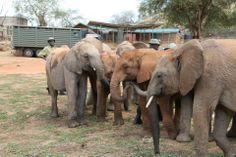 Teleki wird von den anderen Ithumba-Waisen freudig begrüßt.  Bild: (c)DSWT
