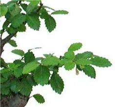 Cuidados, cultivo y diseño de un Bonsai Olmo chino (Ulmus parvifolia)