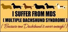 I suffer from MDS (Multiple Dachshund Syndrome) because one dachshund is never enough! by jeannine