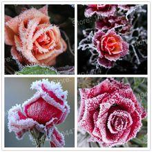 200 pcs Rare Mixte Couleur Rose Graines rainbow rose graines plante Vivace fleurs bonsaï pot Maison Décoration De Jardin graines De Fleurs(China)