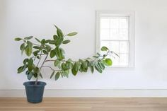 Use this guide for growing ficus trees (Ficus benjamina). Learn information on growing conditions, propagations, repotting, and ficus varieties. Fig Plant Indoor, Indoor Trees, Indoor Plants, Indoor Garden, Ficus Lyrata, Ficus Elastica, Cactus Plante, Pot Plante, Ficus Tree