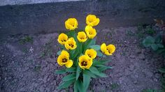 Yellow tulips - null
