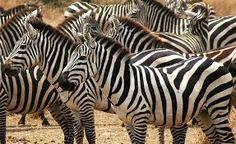 safari com zebras - Pesquisa do Google