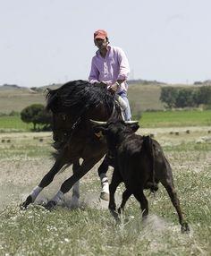 Andalusian horse performing doma vaquera
