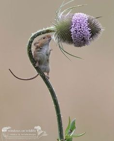 Cute Creatures, Beautiful Creatures, Animals Beautiful, Nature Animals, Animals And Pets, Nature Nature, Cute Baby Animals, Funny Animals, Harvest Mouse