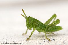 Tiny baby grasshopper Macro And Micro, Photos, Baby, Animals, Animales, Pictures, Animaux, Babys, Baby Humor