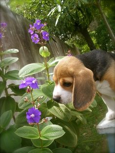 Are you interested in a Beagle? Well, the Beagle is one of the few popular dogs that will adapt much faster to any home. Whether you have a large family, p Cute Beagles, Cute Puppies, Cute Dogs, Dogs And Puppies, Doggies, Corgi Puppies, Art Beagle, Beagle Puppy, Tier Fotos