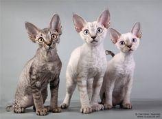 Devon Rex kat haar aanwezigheid gevoeld alleen in 1960 in Engeland. Dit is vrij ongewone verschijning, geraffineerde textuur is zacht en golvend vacht. Het is gemakkelijk te identificeren grote oren. Devon Rex katten zijn een aantal zeer intelligent, met een uiterst fijne contouren. Ze genieten een grote populariteit, omdat ze worden gezien als enkele hypoallergene katten. De prijs van deze katten varieert tussen de 400 en 1200 dollar.