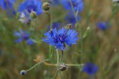 Balsemien: Blauw - korenbloemen
