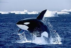 Gallery Black and white animals: Breaching Killer Whale