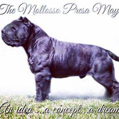 Mollosso Presa Mayo Presa Mayo, Pitbulls, Dogs, Animals, May, Bonito, Animales, Pit Bulls, Animaux