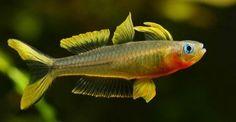 Pseudomugil furcatus  Forktail Blue-eye