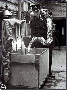 Often, animals had special protection built for them for the brutal air-raids that took place during World War II. Here, a large snake at the Regent Park Zoo (in London) is placed for safe-keeping in a box built for housing the snake when air-raids take place.