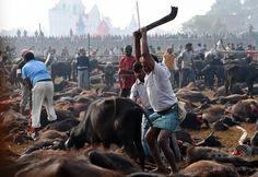 ヒンズー教の祭り、規制でいけにえ10万頭減 ネパール