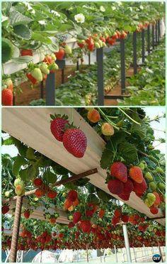 DIY Hydroponic Strawberries Garden System Instruction- #Gardening Tips to Grow Vertical Strawberries Gardens #hydroponicstips #urbangardeningtips