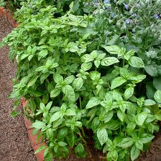 Herb Garden:  Genovese Sweet Basil: This is the classic Italian basil, and the crucial ingredient for pesto! Large dark green leaves are tender, delicious, and aromatic.