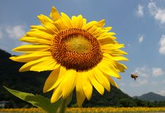 A bee flies in front of a sunflower planted on July 11, 2013 in Sayo, Japan. Approximately 1.2 million sunflowers are planted in 24.1 hectar...
